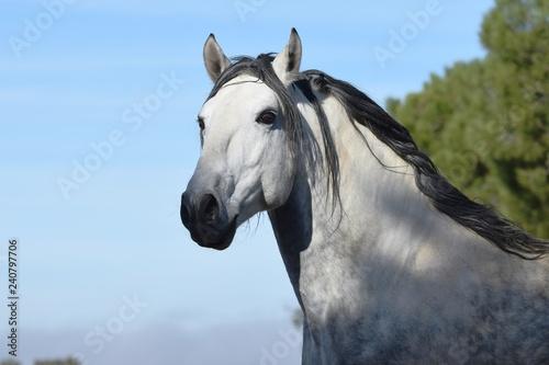 Fotografie, Obraz  caballo español