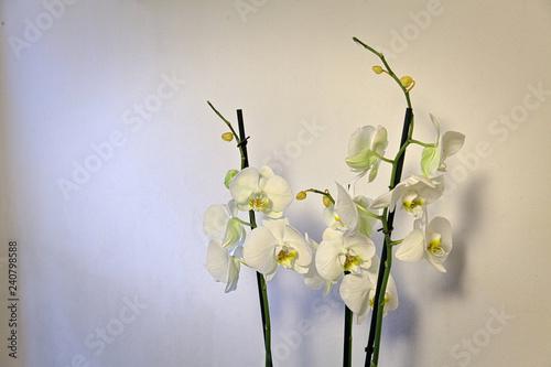 Białe kwiaty storczyków - 240798588