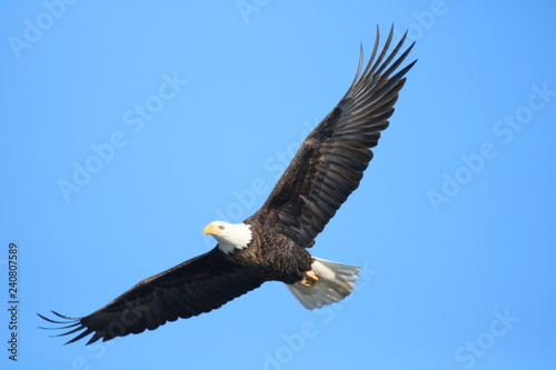 Photo sur Aluminium Aigle magestic