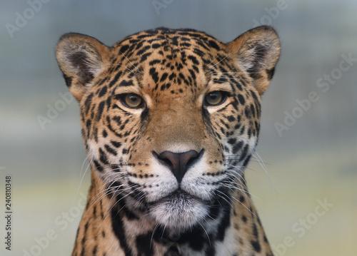 Poster Panter Jaguar