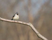 Tufted Titmouse In Late Autumn