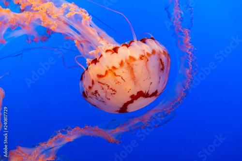 Fotografie, Obraz  Orange jelly fish on a dark blue background