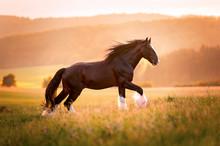 Shire Horse Hengst Im Sonnenun...