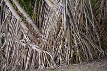 Aerial Prop Roots Of Pandanus Tree Also Known As Pandan Or Screw Pine Or Screw Palm. It Is A Palm-like Tree And Shrub Native To The Tropics And Subtropics