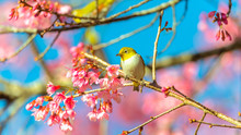 Japanese White-eye (Zosterops Japonicus) On A Cherry Blossom