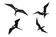 Adult Female Fregata Magnificens Magnificent Frigatebird Flying In Various Postures Isolated On White Background