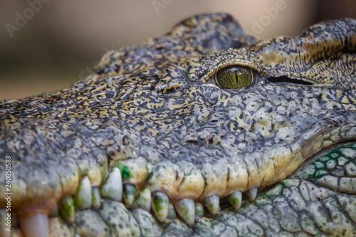Recess Fitting Crocodile Krokodilauge