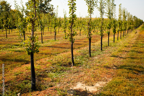 Numerous young apple trees at the farm