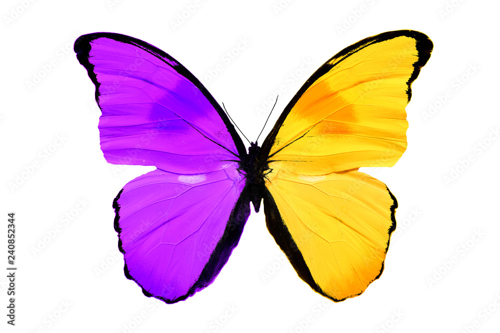 insect butterfly with yellow and purple wings. isolated on white background