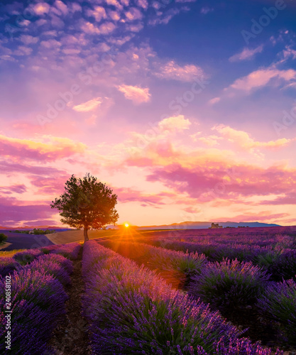Valokuvatapetti Tree in lavender field at sunset in Provence, France