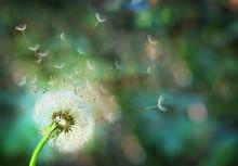 Dandelion. Close Up Of Dandeli...