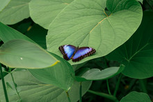 Blue Morpho Butterfly/morpho Peleides Female. Resting On A Leaf With Her Beautiful Big Wings.