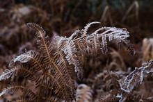 Frosty Fern In The Foliage