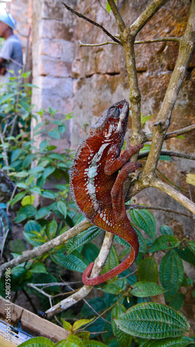 portrait of panther chameleon aka Furcifer pardalis in Andasibe-Mantadia National Park, Madagascar