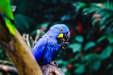Portrait Of Blue Macaw (Anodor...