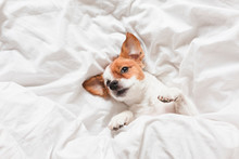 Cute Dog Sleeping On Bed, White Sheets.morning
