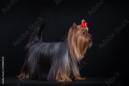 Foto  Dog breed Yorkshire Terrier on a black background.