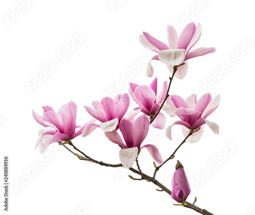 Poster Magnolia Pink magnolia flowers isolated on white background