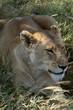 Löwen in der Savanne der Serengeti