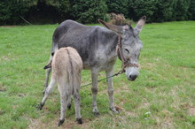 New Born Donkey Suckling His Mother In A Farm In Asturias. July 31, 2015. Animals, Travel, Nature, Vacation. Asturias, Spain.
