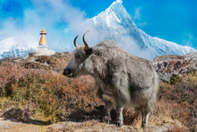 Nepal Yak In Front Of Mountain...