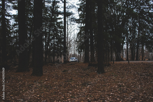 Dark, mysterious pine forest. Densely wooded landscape. Lush pine trees on a rainy day