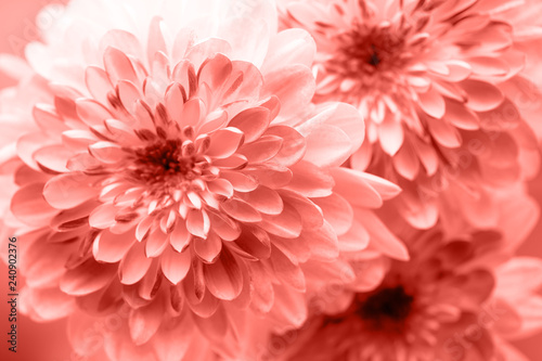 Dahlia flowers close up for living coral  background.