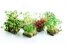 Microgreen Dill Sprouts, Radis...