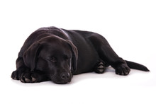 Sleeping Labrador Puppy Isolat...