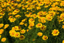 Flowerbed Of Yellow Daisies In...