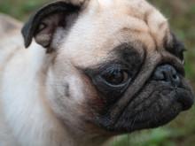 Closeup Cute Muzzle Of Pug Dog...