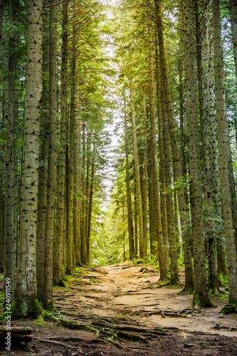 Türaufkleber Straße im Wald a spruce forest