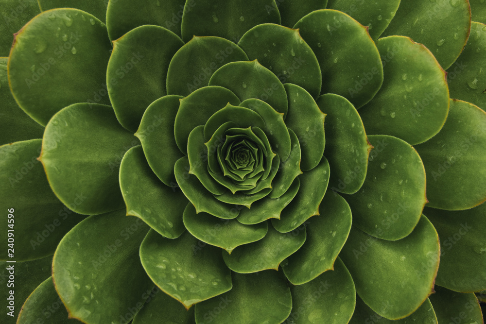 Fototapeta Top view of dark green succulent plant. Natural background with soft focus