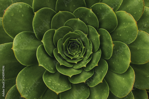 Fototapeta Top view of dark green succulent plant. Natural background with soft focus obraz