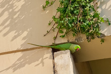 Indian Rose-ringed Parakeet (Psittacula Krameri Manillensis), Also Known As The Ring-necked Parakeet - New Delhi, India