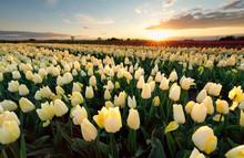 Sunshine Over Yellow Tiulip Field