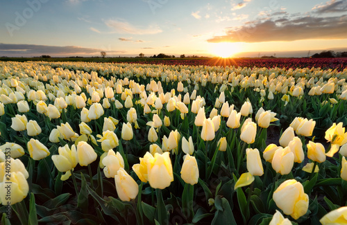 Staande foto Tulp sunshine over yellow tiulip field