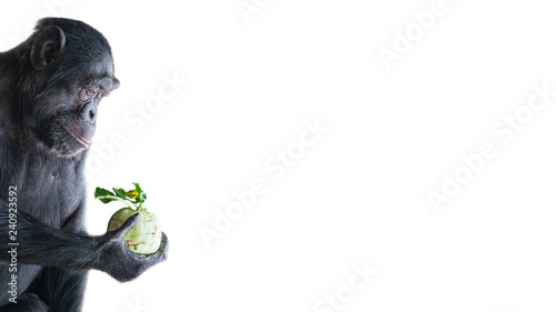 Fotografie, Tablou Portrait of troubled Chimpanzee in profile holding a cabbage isolated at white b