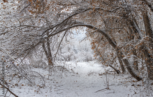 Poster Taupe Trail in cottonwood forest near Rio Grande River after morning snowfall in Rio Rancho, New Mexico