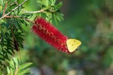 Giant Sulphur Butterfly Sips Nectar From The Briliant Red Bottlebrush Flower