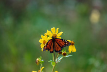 A Solitary Monarch Butterfly Sips Nectar From A Sunflower Bloom