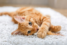 Ginger Kitten With Toy