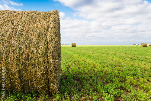 bales of alfalfa in the field in summer Canvas Print
