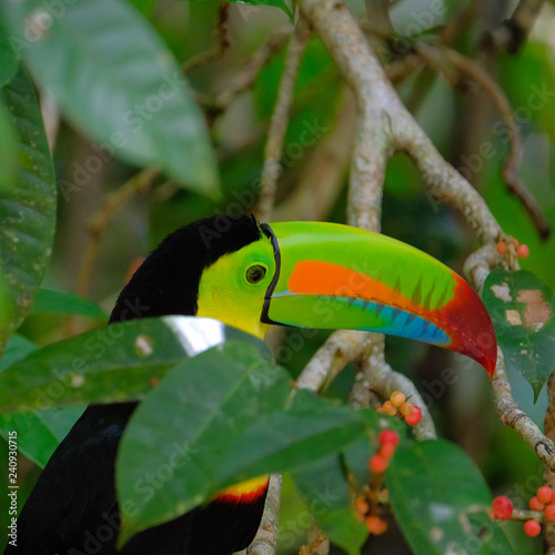 Fotografia, Obraz  keel billed toucan