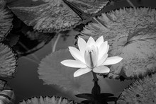 Beautiful White Water Lily And Lily Pads In A Pond. Copy Space For Text.
