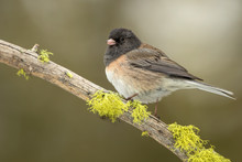 Dark-eyed Junco Side Pose (adu...