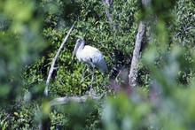 Wood Stork On A Branch