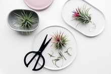 Tillandsia Air Plant On A White Background, Creative Flat Lay Minimal Gardening Concept
