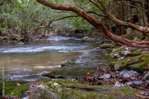 Fotografia, Obraz  Mountain Laurel trees loom over the Little Gizzard Creek by the Fiery Gizzard Trail near Foster Falls, South Cumberland State Park on the Cumberland Plateau