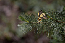 Scarce Swallowtail Iphiclides Podalirius Butterfly Is Sitting On Spruce Branch